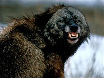 El auténtico wolverine, o carcayú, o glotón